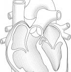 Heart Cutaway Linework