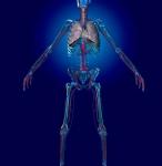 Male Cardiovascular System