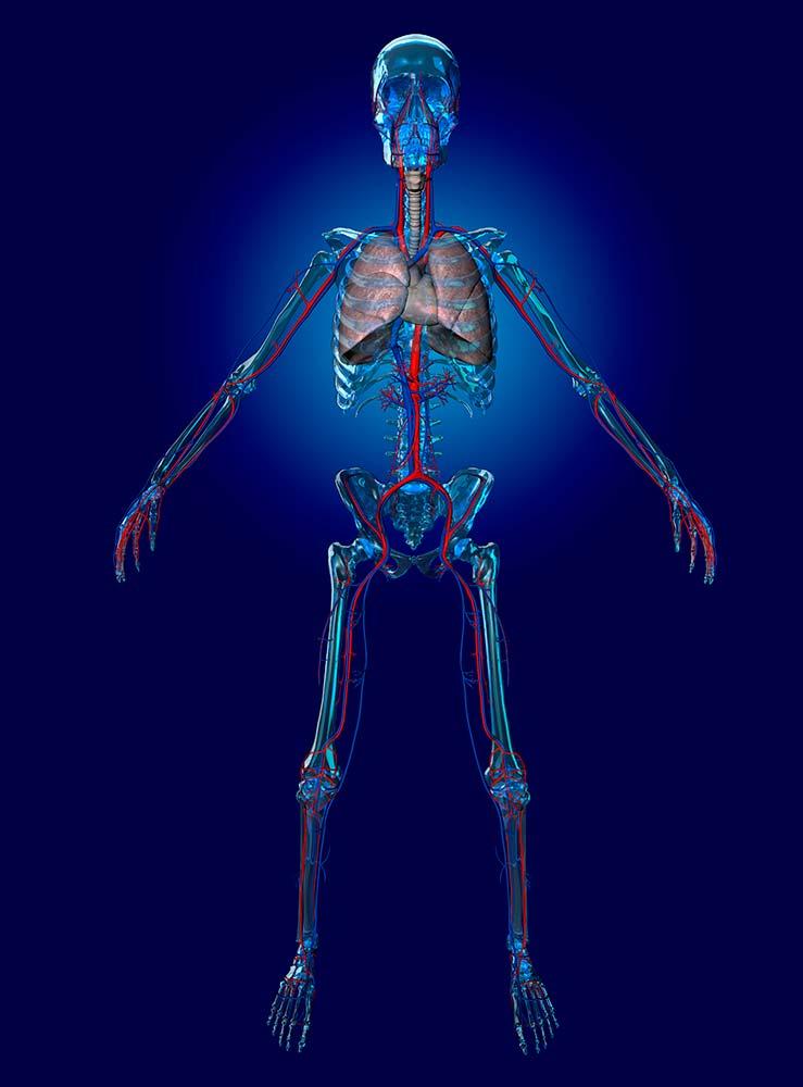 Male Cardiovascular System Graphic Design Photorealistic Cgi