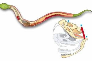 Snake Digestion Diagram