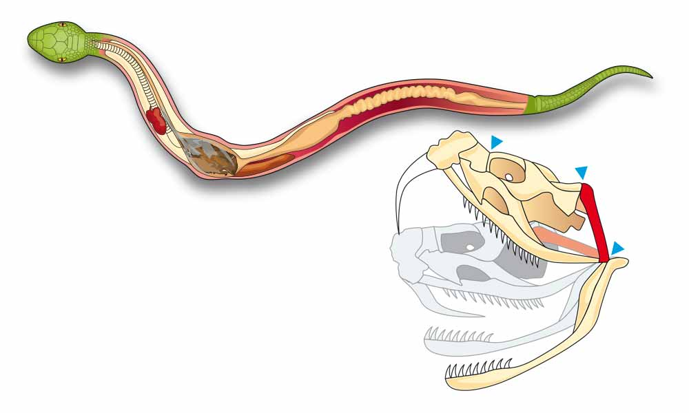 snake digestion diagram graphic design photorealistic cgi  : snake diagram - findchart.co